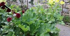 Herbst Rhabarber Frische Ernte Mein Sch 246 Ner Garten