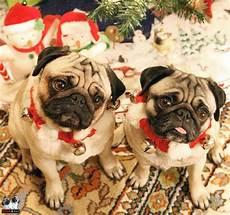 merry christmas pet holiday pugs and kisses pug love