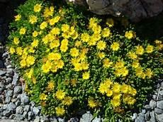 bodendecker gelb winterhart delosperma nubigenum hardy yellow plant delosperma