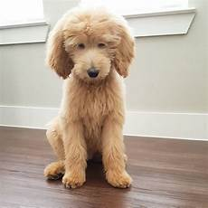 image result for types of goldendoodle haircuts cute if you re considering grooming your goldendoodle consider one of these types of cute goldendoo