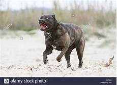 corso italian mastiff running on the