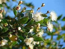 fiori di mirto murta comum wikip 233 dia a enciclop 233 dia livre
