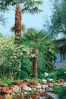 pot pour palmier exterieur palmier nain chamaerops humilis arbuste 35 cm en pot 1 5