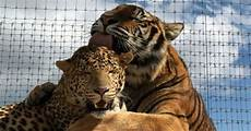 These Tiger And Jaguar Are Inseparable And