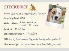 American Staffordshire Terrier Steckbrief   Charakter