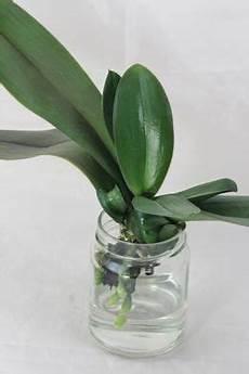 wie oft orchideen gießen orchideen gie 223 en orchideen orchideen garten orchideen