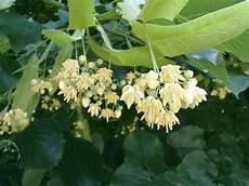 fiori profumati da giardino tutti pazzi per le piante fragranza di tiglio