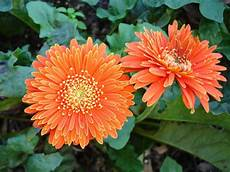 25 Gambar Bunga Warna Orange Gambar Bunga Indah