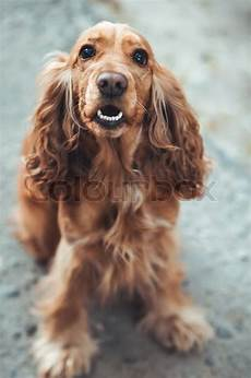 Ausmalbilder Hunde Cocker Spaniel Hund Cocker Spaniel Stockfoto Colourbox