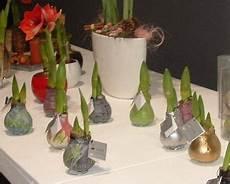 amaryllis pflege nach blüte waxz amaryllis dekoriert pflege nach dem verbl 252 hen