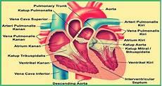 Bagian Jantung Yang Berfungsi Menerima Darah Dari Paru