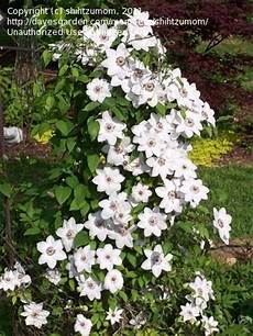 Plantfiles Pictures Clematis Early Large Flowered