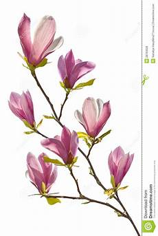 flowering branch of magnolia image of