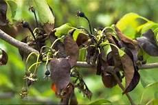 birnbaum schwarze blätter zaraza ogniowa gruszki traktowanie choroby gruszką