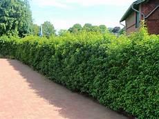 portugiesische lorbeerkirsche angustifolia prunus