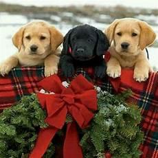 merry christmas christmas puppy christmas animals christmas dog