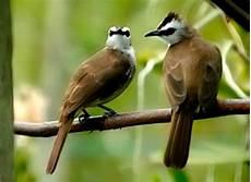 Rekomendasi Makanan Burung Trucukan Agar Gacor Lengkap