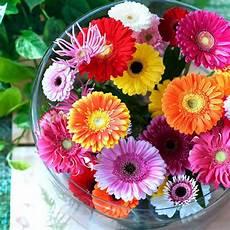 significato dei fiori gerbera primavera tempo di fioriture il significato segreto dei