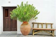 Oleander Draussen überwintern - oleander 252 berwintern 187 warum nicht in der wohnung