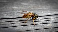 Wespen Vertreiben Hausmittel - wespennest selbst entfernen was tun um wespen