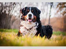 Berner sennenhond   Honden   Rasinformatie   Omlet