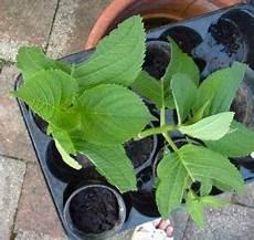 hortensien vermehren durch stecklinge garten pflanzen