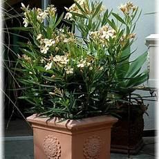oleander pflege und schnitt oleander pflanzenk 252 bel k 252 belpflanzen mediterraner