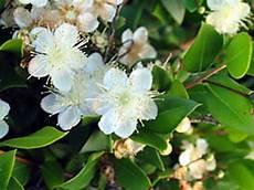 fiori di mirto piante e fiori mirto