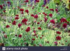 knautia macedonica flowering flower bloom blossom plant