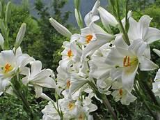gigli fiore raccontare un paese i miei fiori gigli di s antonio e