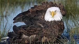 Bald Eagle Hunting Fish Hd Wallpaper  Wallpapers13com