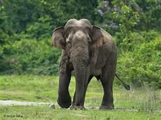 Malvorlage Indischer Elefant Asiatischer Elefant Asiens Riesen Sind Vom Aussterben Bedroht
