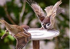 Gambar Burung Gereja Terbang Gambar Burung