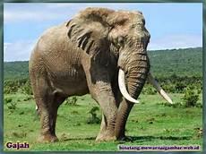 Gambar Gajah Gajah Afrika Binatang Gajah