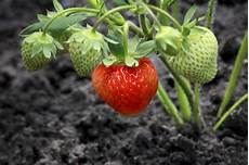 Gardening Strawberries by Grow Your Own Organic Strawberries Kellogg Garden Products
