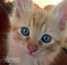 gatti persiani da adottare offro in regalo cucciolo da privato a pi regalasi gattini