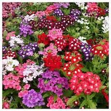 fiore flowers verbena flower at rs 25 त ज फ ल फ र श फ ल वर