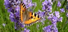 Lavendel Schneiden Wann Und Wie Viel