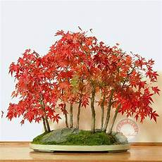 japanese maple bonsai for sale best trend tattoos design