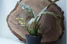 wie werde ich schnell feucht soterosanthus shepheardii