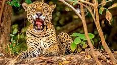 sur la terre des jaguars photo un jaguar qui b 226 ille