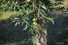 gelbe blätter am olivenbaum sch 228 dlinge am olivenbaum was tun bei l 228 usen wei 223 en