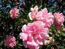 rosier liane sans epine 1000 images about rosiers lianes et grands sarmenteux on