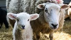 four secret life of farm animals series 1 sheep