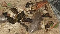 wie sieht waschbärkot aus waschb 228 r de startseite