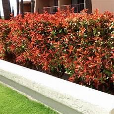 Photinia Fraseri Robin - photinia robin hedge photinia x fraseri robin