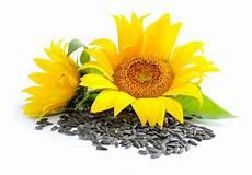 sonnenblumenkerne wirkung anwendung und studien wo