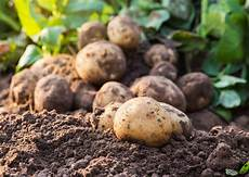 potato growing caring harvest and protection from diseases