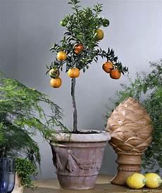 agrumes en pot 4 agrumes 224 cultiver en pot d 233 tente jardin