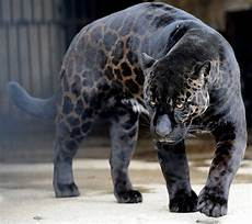 panther jaguar leopard black jaguar